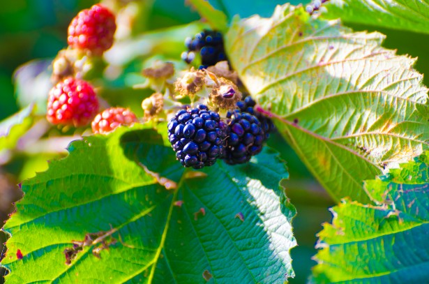 blackberries como water