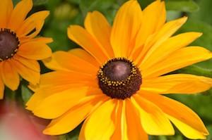 summer-daisy-2